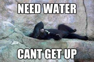 Hungover bear needs water